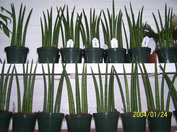 Slaapkamergeluk Plant : Sansevieria Cylindrica Plant